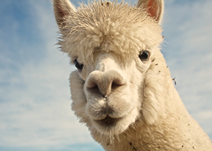 A Alpaca looking at the camera.